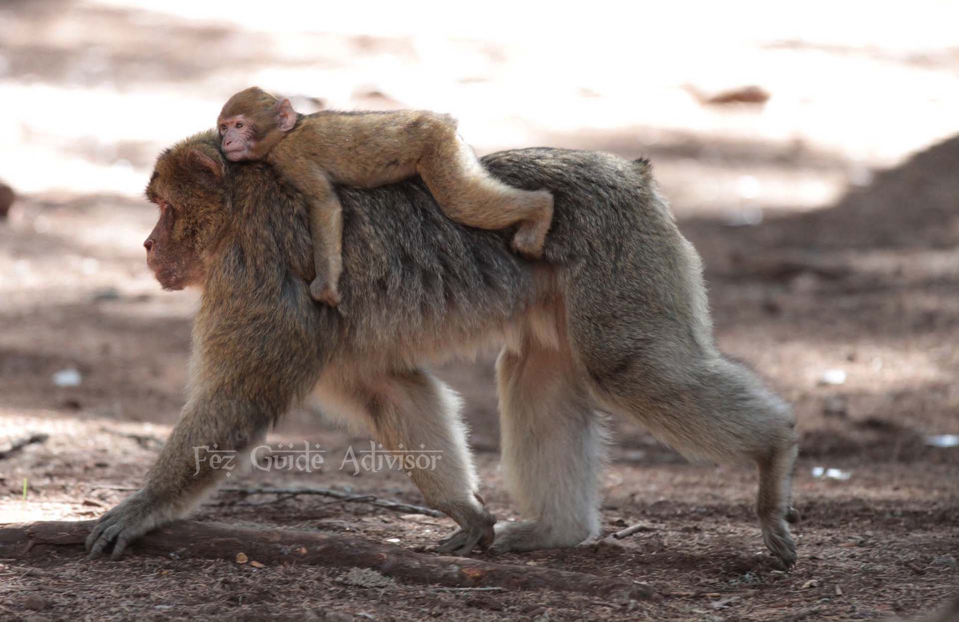 Barbary macaque - Cedre Gouraud Forest - Middle Atlas - Morocco excursions